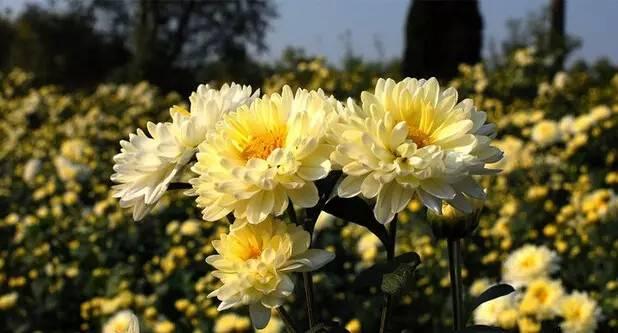 白菊花与杭白菊功效一样吗?怎么正确饮用杭白菊和白菊花?