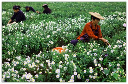杭白菊种植栽培知识