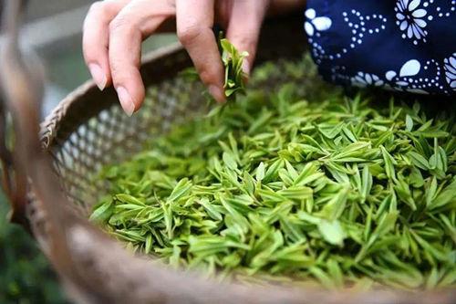 安吉白茶的储存方法